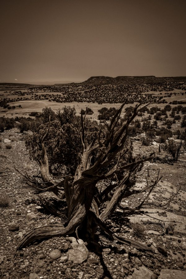 A Juniper of Old in Sepia, Abiquiu, New Mexico