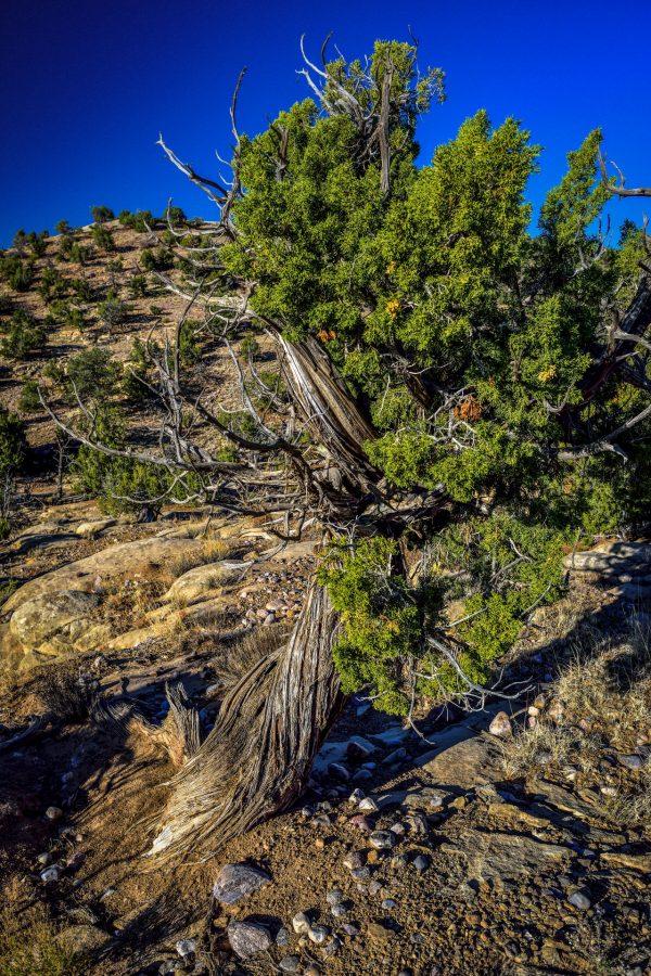 A Twist of Juniper 3, Abiquiu, New Mexico