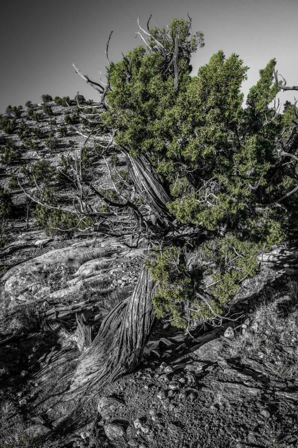 A Twist of Juniper, Abiquiu, New Mexico