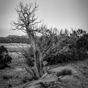 An Elder Juniper 2, Abiquiu, New Mexico