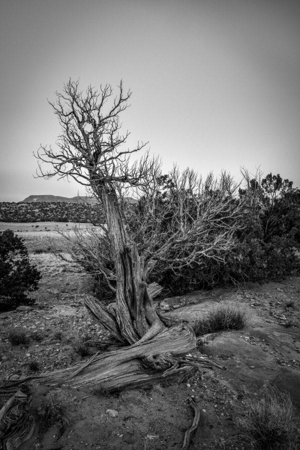An Elder Juniper 2, Abiquiu, New Mexico