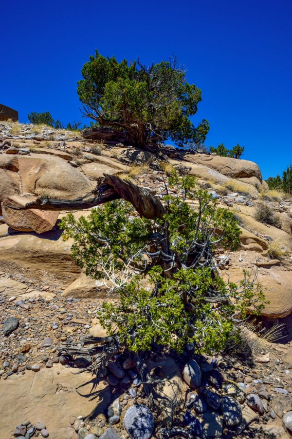 High and Low Junipers, Abiquiu, New Mexico