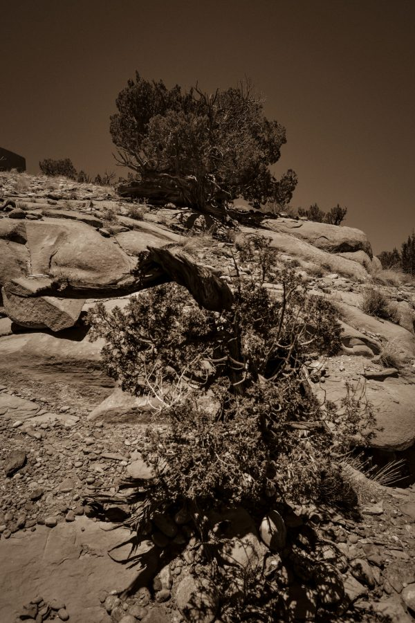 High and Low Junipers in Sepia, Abiquiu, New Mexico