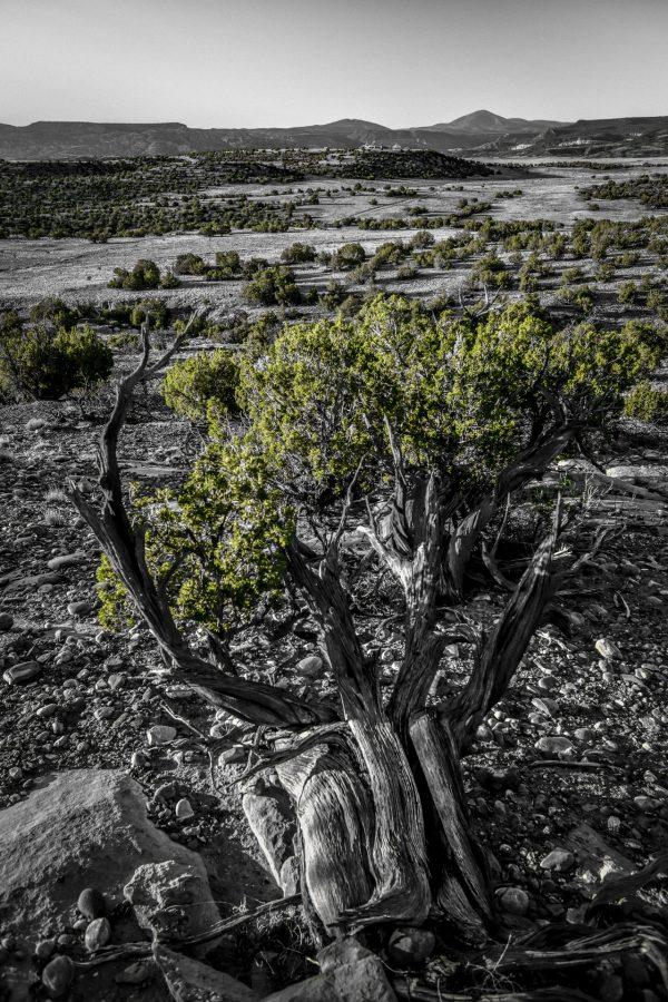 Morning Juniper, Abiquiu, New Mexico