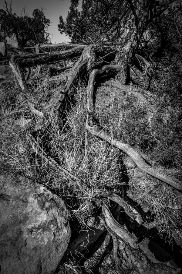 Roots of a Desert Pine, Abiquiu, New Mexico