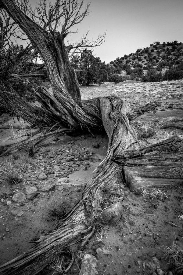 Roots of the Juniper 2, Abiquiu, New Mexico