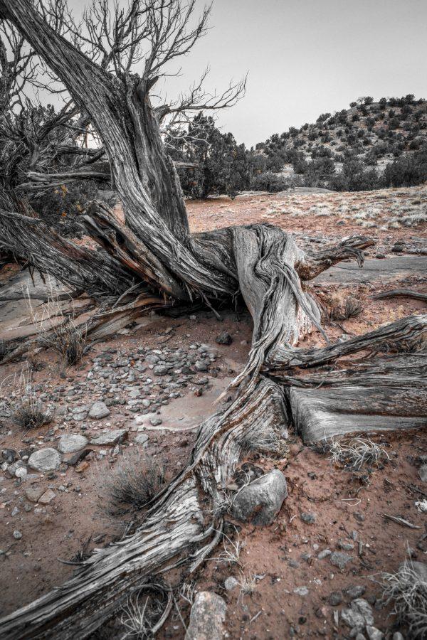 Roots of the Juniper 6, Abiquiu, New Mexico