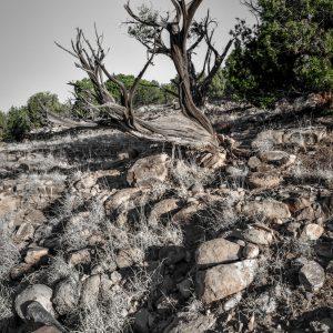 Twisted Juniper, Abiquiu, New Mexico