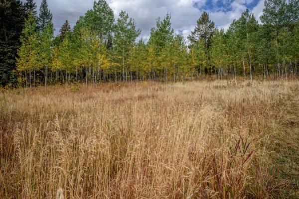 Aspen Grove in the Woods, Wilson, Wyoming