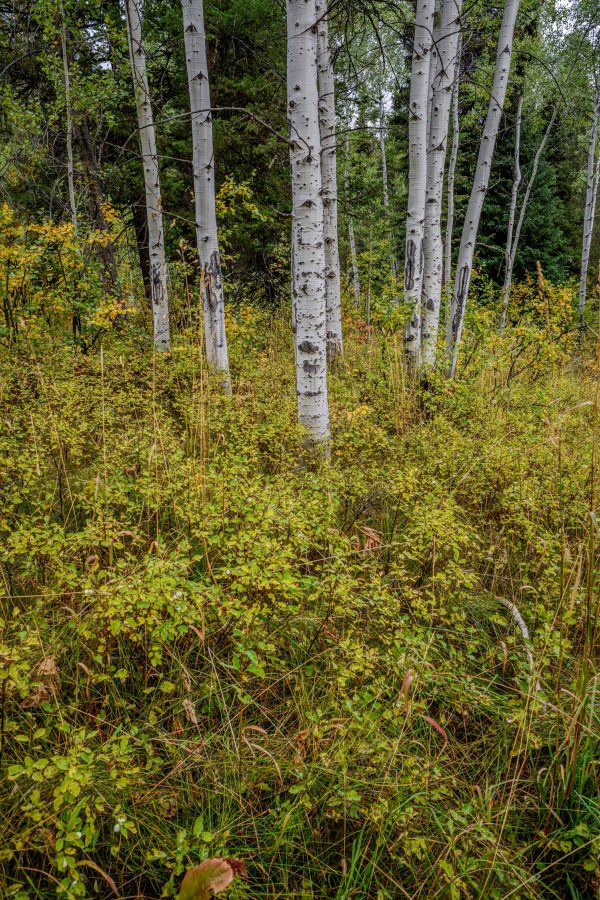 Aspens in Early Fall, Wilson, Wyoming