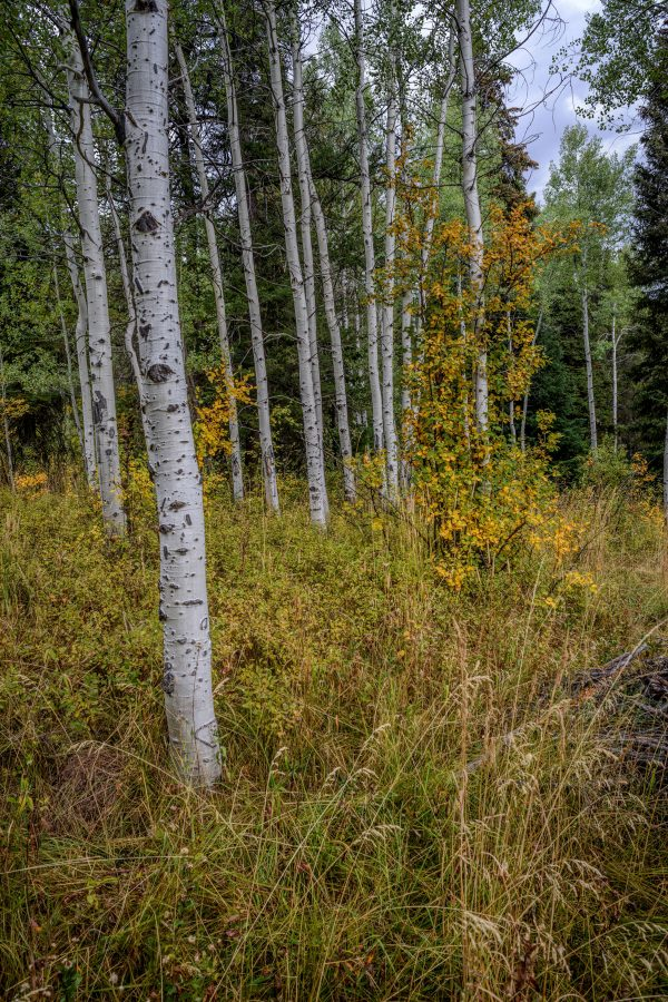 Aspens in the Early Fall, Wilson, Wyoming
