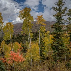 Maple Among the Aspens, Santaquin, Utah