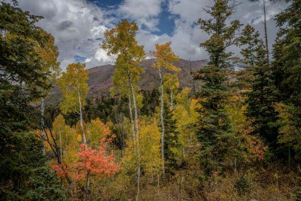 Maple Among the Aspens, Santaquin, Utah