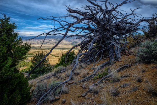 Rocky Mountain Juniper, Pray, Montana_