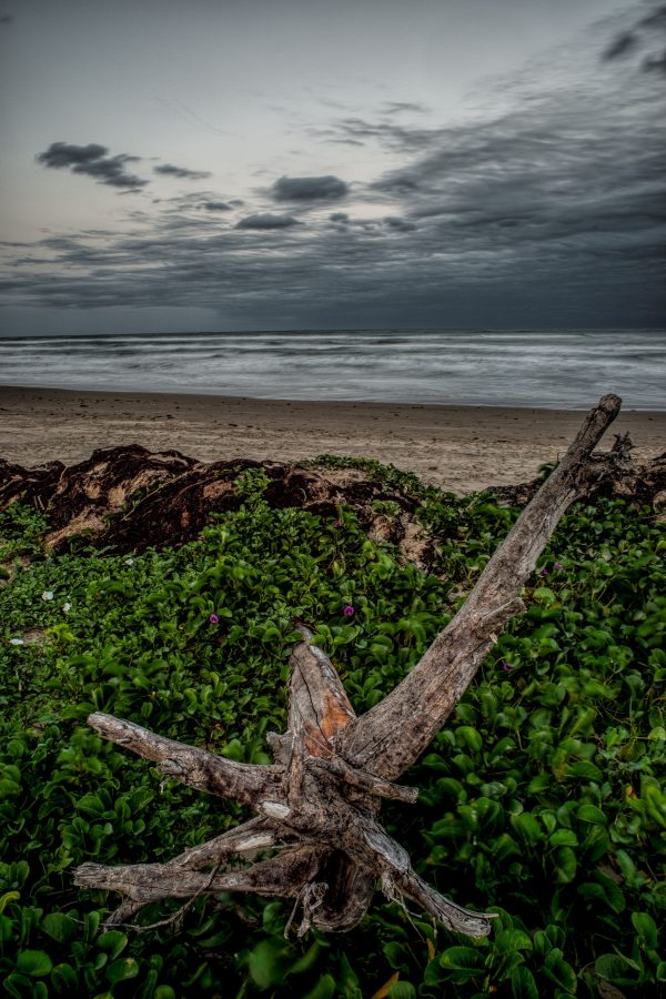 Roots in the Dunes, Padre Island, Texas