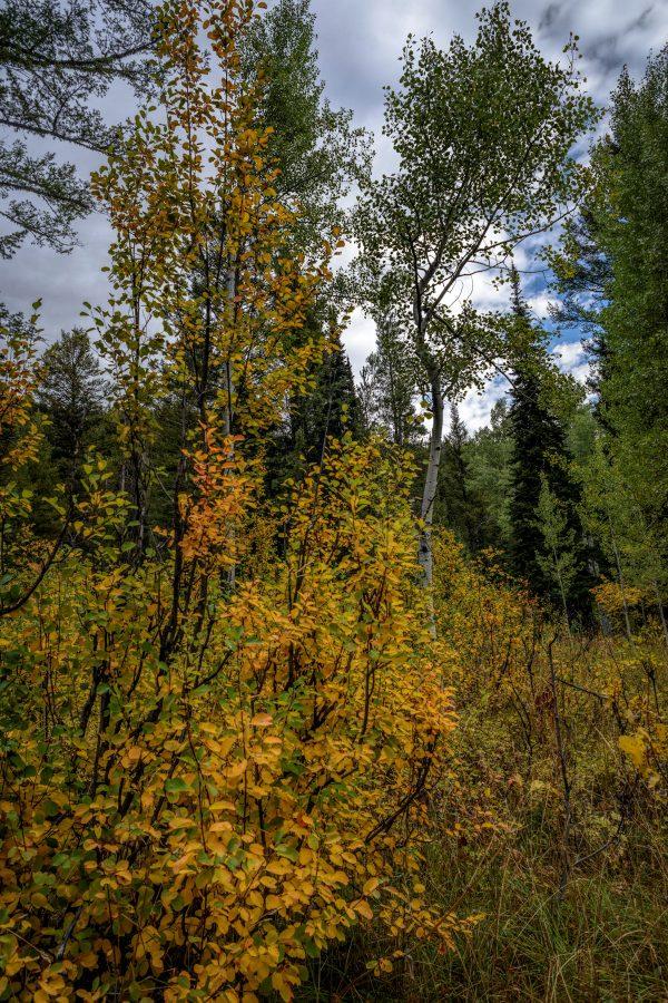 Woods in the Early Fall, Wilson, Wyoming