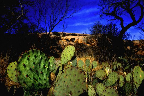 Prickly Pears, Enchanted Rock, Texas